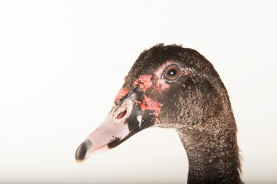 A muscovy duck named Joelle (Cairina moschata moschata) at the Gladys Porter Zoo in Brownsville, Texas.