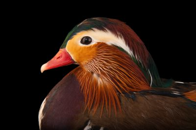 Picture of a male Mandarin duck (Aix galericulata) from a private collection.