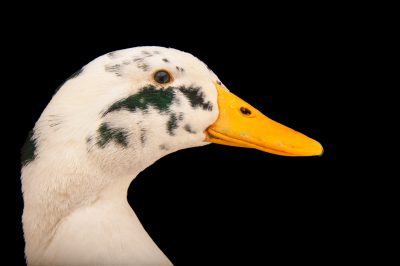 Picture of an ancona duck (Anas platyrhynchos domesticus) from a private collection.