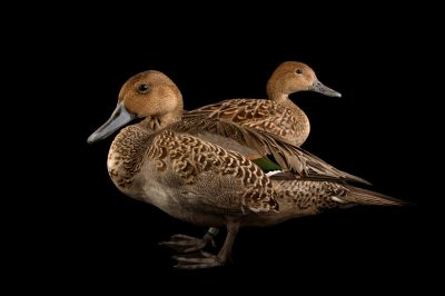 Picture of a pair of northern pintail ducks (Anas acuta) at the John Ball Zoo in Grand Rapids, Michigan.