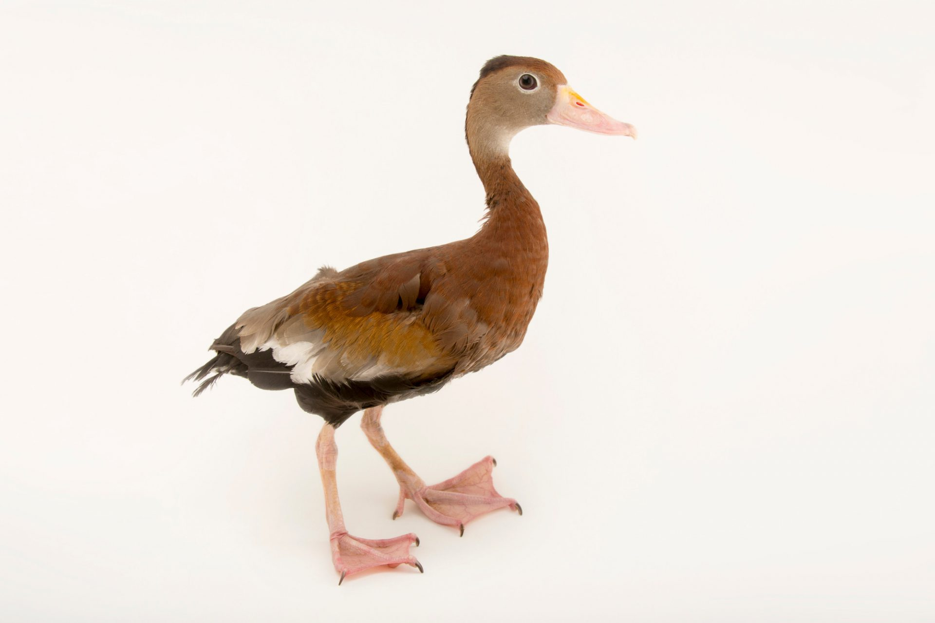 Picture of a northern black-bellied whistling duck (Dendrocygna autumnalis autumnalis) at the Tulsa Zoo.