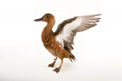 Picture of a male cinnamon teal (Spatula cyanoptera) at the John Ball Zoo in Grand Rapids, Michigan.