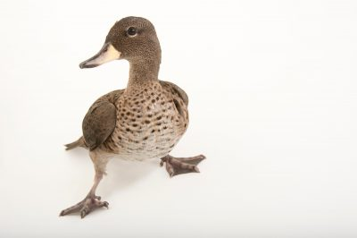 Picture of a Chilean teal (Anas flavirostris flavirostris) at the John Ball Zoo in Grand Rapids, Michigan.