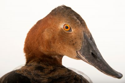 Picture of a male canvasback duck (Aythya valisineria) at the John Ball Zoo in Grand Rapids, Michigan.
