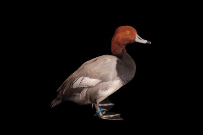 Picture of a redhead (Aythya americana) duck at the Columbus Zoo.