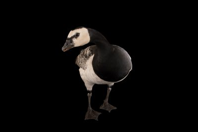Picture of a barnacle goose (Branta leucopsis) at the Houston Zoo.