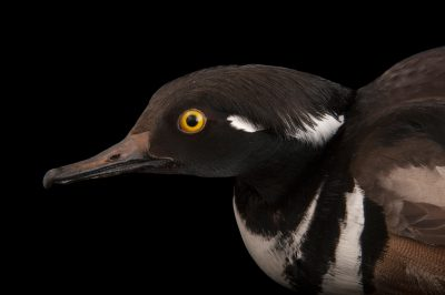 A hooded merganser (Mergus cucullatus) at the Sedgwick County Zoo in Wichita, Kansas.
