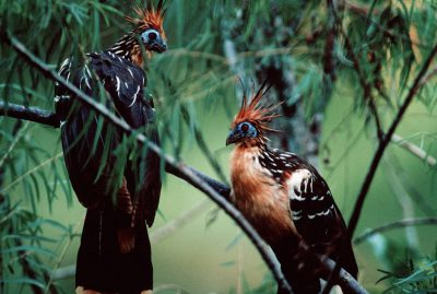 Photo: Hoatzin (Opisthocomus hoazin) show off their distinctive plumage in the rainforests of Bolivia's Madidi National Park.