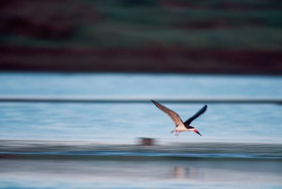 Picture of black skimmer (Rynchops niger) at the San Diego National Wildlife Refuge, California.