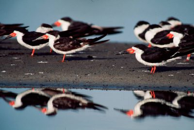 Picture of black skimmers (Rynchops niger) at the San Diego National Wildlife Refuge, California.