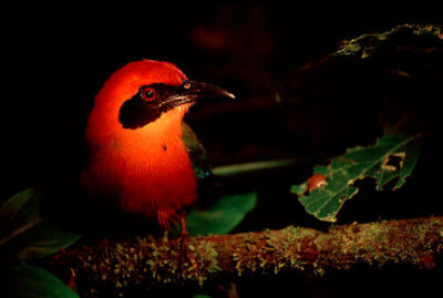 Photo: A broad-billed motmot (Electron platyrhynchum) in Bolivia's Madidi National Park, part of the Amazon basin.