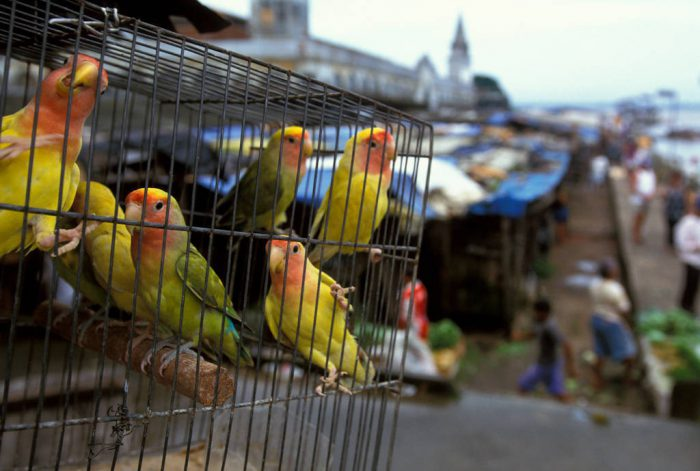 Photo: Parakeets for sale in a market in Ver-o-peso market in Belem, Brazil.