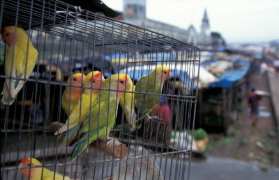 Photo: Parakeets for sale in a market in Ver-o-peso market in Belem, Brazil.