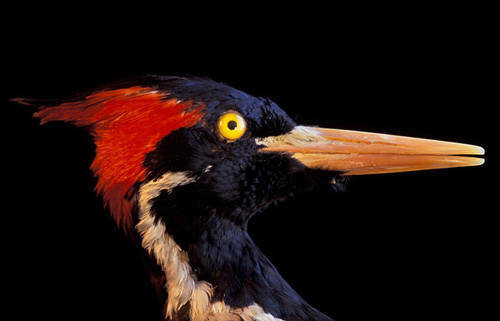 Photo: Taxidermy specimen of an ivory-billed woodpecker at the University of Nebraska State Museum.