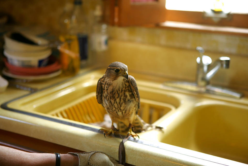 Photo: A merlin (Falco columbarius) in its caretaker's kitchen at the Raptor Recovery Center in Lincoln, Nebraska.