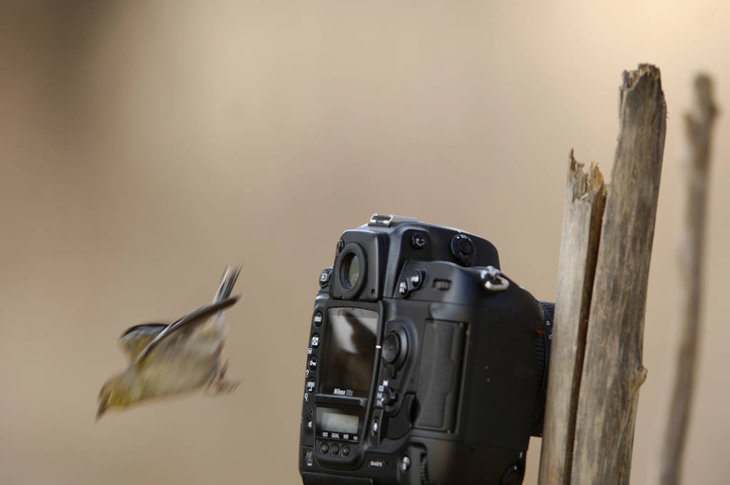 A goldfinch (Carduelis tristis) flies off a camera at Waveland Farm, Lincoln, Nebraska.