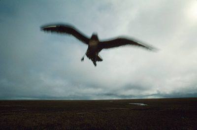 Photo: A parasitic jaeger (Stercorarius parasiticus) dive swoops past the photographer on the wide-open tundra near Barrow, Alaska.