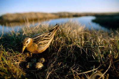 A red phalarope (Phalaropus fulicarius) checks his nest on the tundra near Barrow, Alaska.