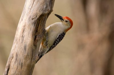 Picture of a male red-bellied woodpecker (Melanerpes carolinus) at the historic Waveland Farm near Bennett, Nebraska.
