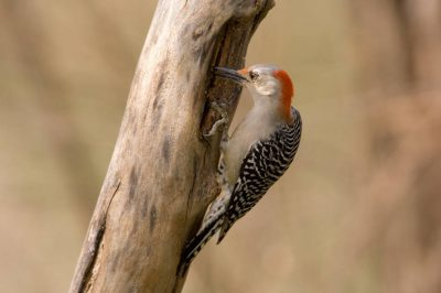Picture of a female red-bellied woodpecker (Melanerpes carolinus) at the historic Waveland Farm near Bennett, Nebraska.