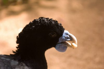 Picture of a critically endangered blue-billed curassow (Crax alberti) at the Houston Zoo, Houston, Texas.