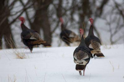 Wild turkeys (Meleagris gallopavo) at near Burwell, Nebraska.