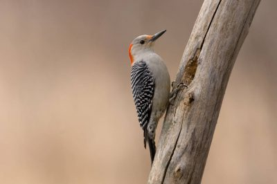 Picture of a female red-bellied woodpecker (Melanerpes carolinus) in Lincoln, Nebraska.