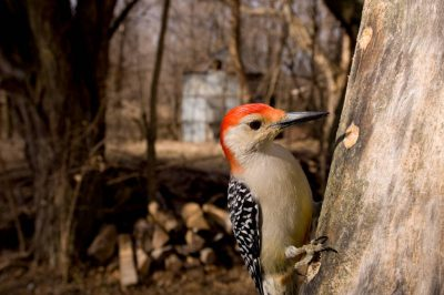 Picture of a male red-bellied woodpecker (Melanerpes carolinus) near Lincoln, Nebraska.