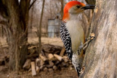 Picture of a male Red-bellied woodpecker (Melanerpes carolinus) in Lincoln, Nebraska.