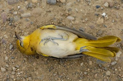 A deceased orchard oriole (Icterus spurius) lies on a road in Montana.