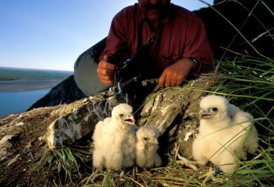 Photo: A researcher examines peregrine falcon chicks in a nest on Alaska's North Slope.