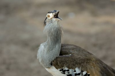 Photo: A kori bustard (Ardeutis kori) at the Sedgwick County Zoo, Wichita, Kansas.