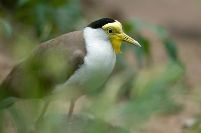 Picture of a masked lapwing (Vanellus miles miles) at the Sedgwick County Zoo.