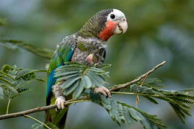 A federally endangered Cuban Amazon (Amazona leucocephala) at the Sedgwick County Zoo, Wichita, Kansas.