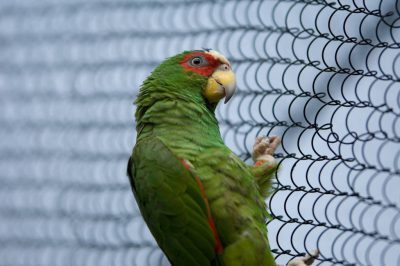 Picture of a white-fronted Amazon (Amazona albifrons) at the Sedgwick County Zoo, Wichita, Kansas.