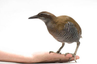 A Guam rail (Hypotaenidi owstoni) at the Sedgwick County Zoo, Wichita, Kansas. Though reintroduction efforts are underway, this species is considered extinct in the wild (IUCN) and federally endangered.