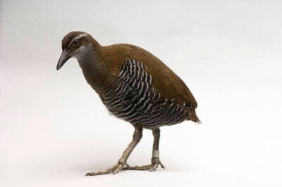 Photo: A Guam rail (Hypotaenidi owstoni) at the Sedgwick County Zoo, Wichita, Kansas.
