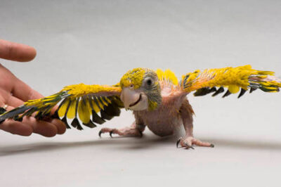 A five-week-old endangered golden conure (Guaruba guarouba) at the Sedgwick County Zoo, Wichita, Kansas.