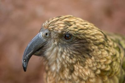 Picture of a vulnerable kea (Nestor notabilis) at the Sedgwick County Zoo, Wichita, Kansas.