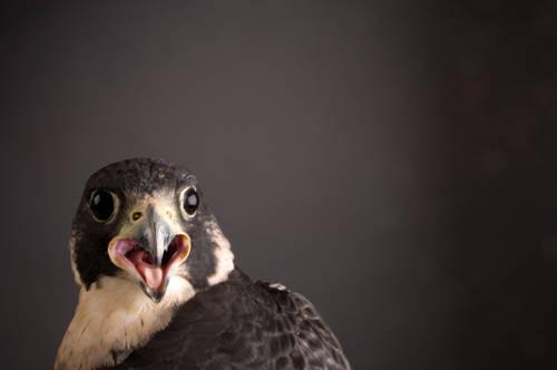 A federally endangered peregrine falcon (Falco peregrinus) at the Raptor Recovery Center, Lincoln, Nebraska.