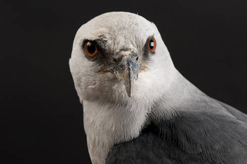 Picture of a Mississippi kite (Ictinia mississippiensis) at the Raptor Recovery Center, Lincoln, Nebraska.