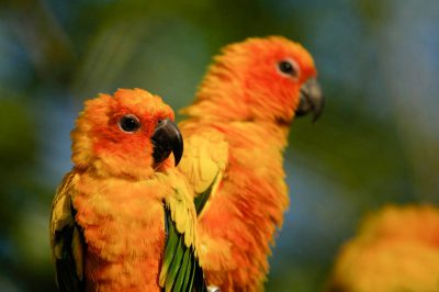 Sun conures (Aratinga solstitialis) at the Sedgwick County Zoo, Wichita, Kansas.