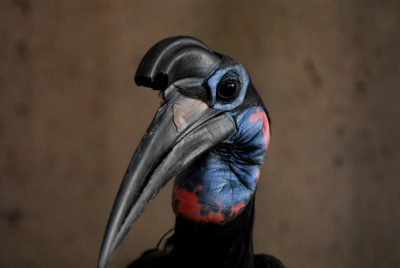Picture of an Abyssinian Ground-hornbill (Bucorvus abyssinicus) at the Sedgwick County Zoo, Wichita, Kansas.