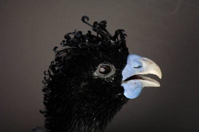 Picture of a critically endangered blue-knobbed curassow (Crax alberti) at the Sedgwick County Zoo, Wichita, Kansas.