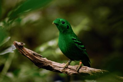 Picture of a lesser green broadbill (Calyptomena viridis) at the Sedgwick County Zoo, Wichita, Kansas.