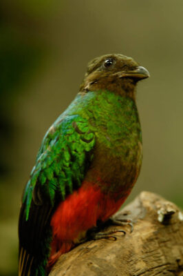 Picture of a golden-headed quetzal (Pharomachrus auriceps) at the Sedgwick County Zoo.