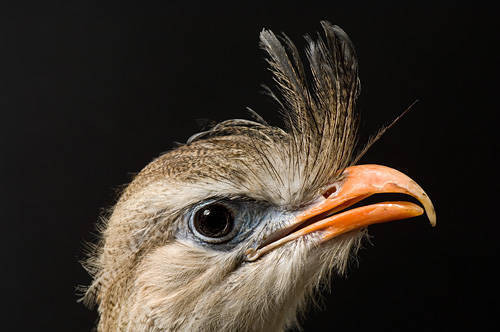 Picture of a red-legged seriema (Cariama cristata) at the Kansas City Zoo.