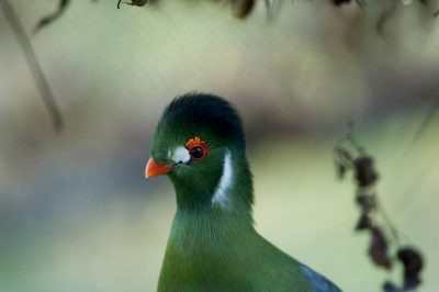A white-cheeked turaco (Tauraco leucotis leucotis) at the Kansas City Zoo, Kansas City, Missouri.