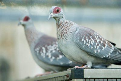 Speckled pigeons (Columba guinea) at the Kansas City Zoo, Kansas City, Missouri.