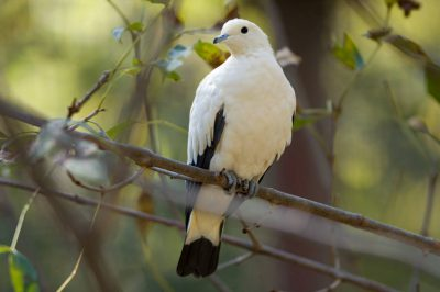 A pied imperial pigeon (Ducula bicolor) at the Kansas City Zoo, Kansas City, Missouri.